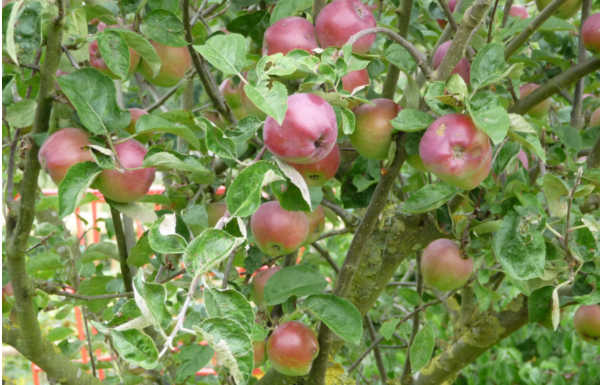 Apples Tree